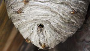 Как убрать шершней с гнездом