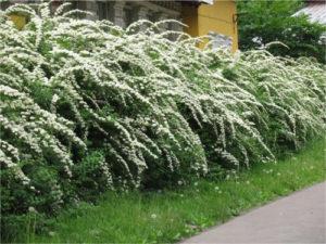 Из чего сделать быстрорастущую многолетнюю живую изгородь на Урале
