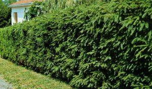Как правильно сделать живую изгородь из ели