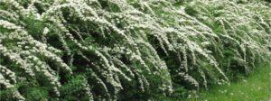 Какие высокие быстрорастущие кустарники выбрать для живой изгороди