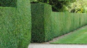 Лучшие деревья, подходящие для живой изгороди