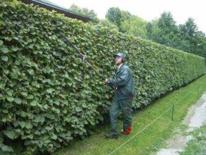 Живая изгородь из боярышника на участке своими руками