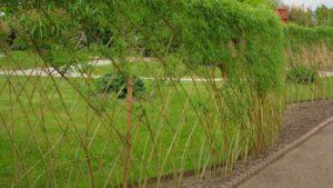 Живая изгородь из ивы на участке своими руками