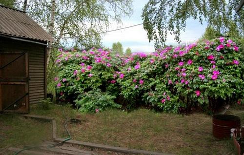 Живая изгородь из шиповника лучшие фото